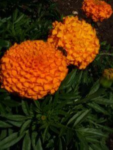 Marigolds by Kim Sweeney