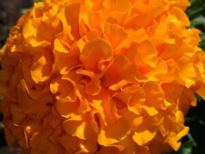 Marigold by Kim Sweeney